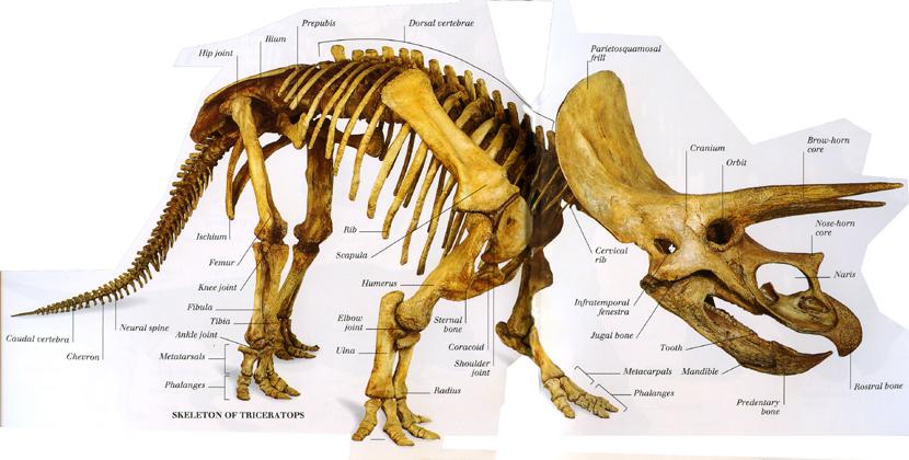 Cgtalk Triceratops Joel3d